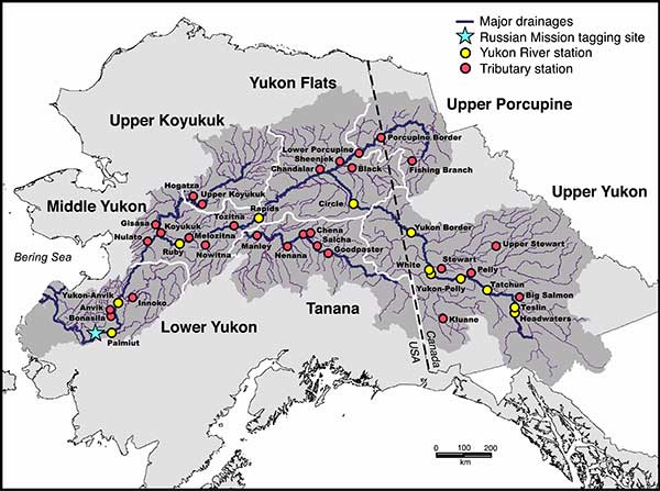 Run Characteristics Of Yukon River Chinook Salmon A Depressed - Yukon river world map