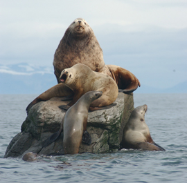 The Steller Or Northern Sea Lion Eumetopias Jubatus Is A Member Of Order Pinnipedia Which Includes Harbor Seals And Walruses It Largest