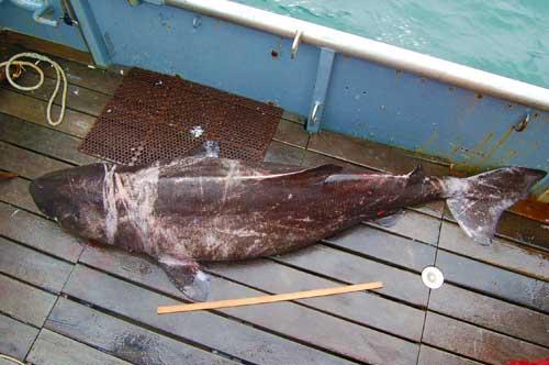Pacific sleeper shark teeth